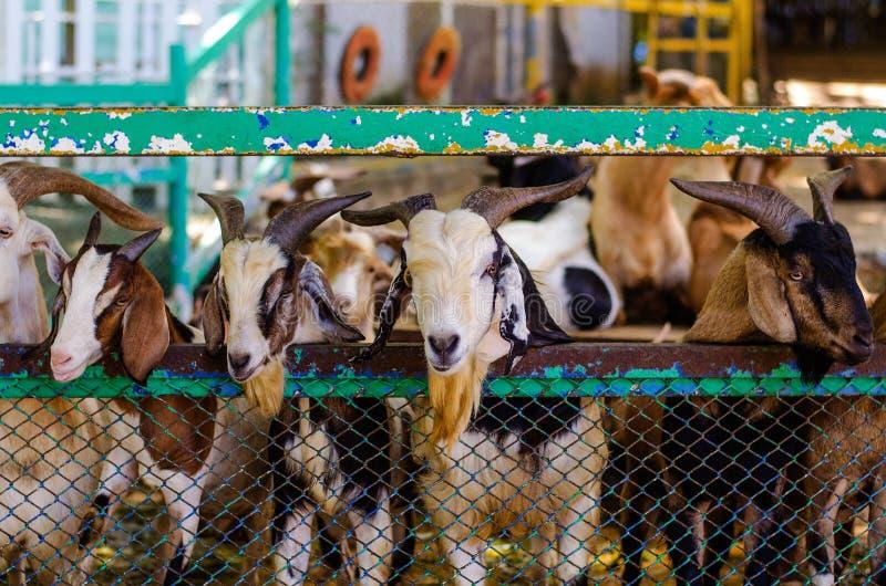 Muitas cabras em uma gaiola fotos de stock