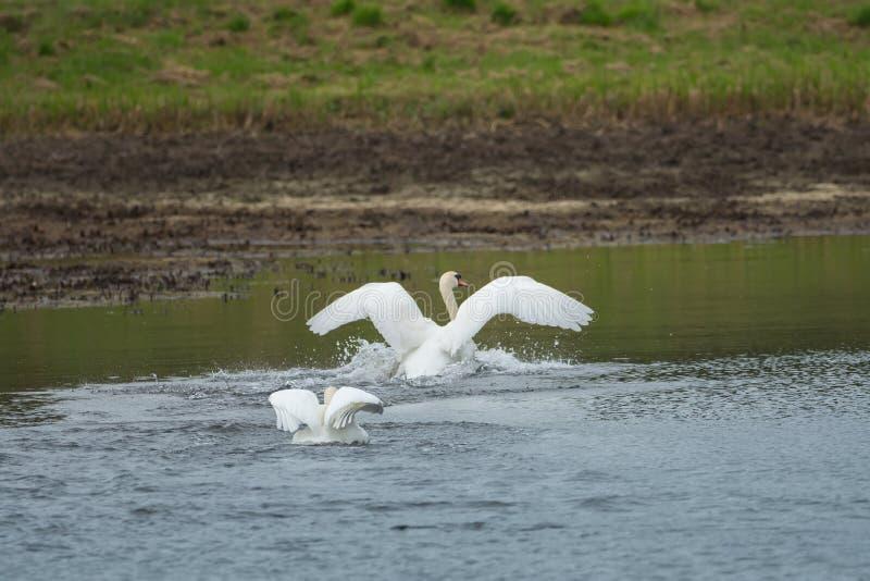 Muitas cisnes bonitas no lago foto de stock royalty free