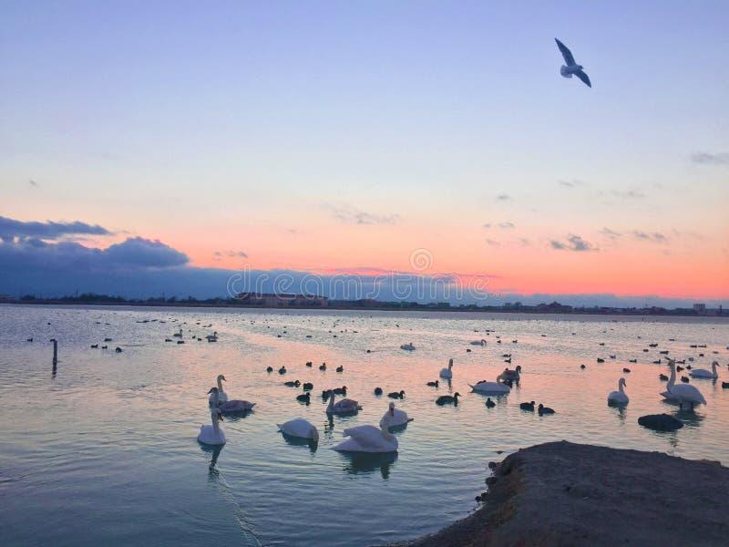 Muitas cisnes no lago um rebanho das cisnes que scrambling sobre o alimento em um rio Nos pais da cisne das cisnes do lago e seu foto de stock royalty free