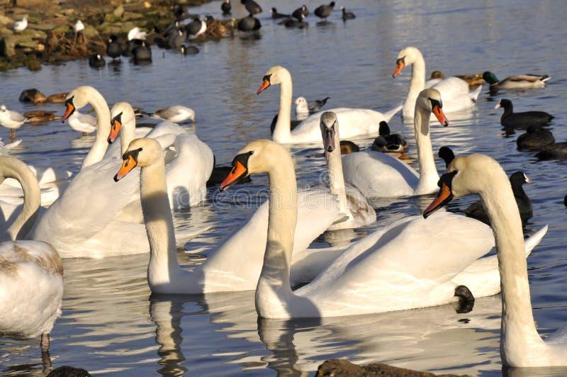 Muitas cisnes que nadam na água fotografia de stock