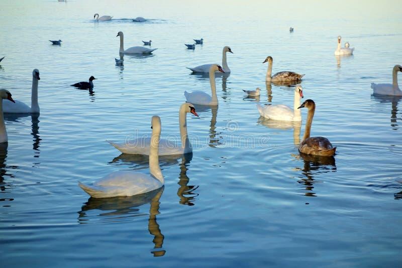Muitas cisnes que nadam na luz imagens de stock