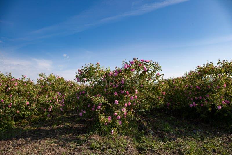 Muitas fileiras das rosas em um campo agrícola imagem de stock