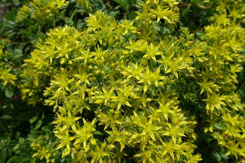 Muitas flores amarelas do kamtschaticum de Sedum imagem de stock royalty free