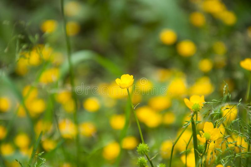 Muitas flores amarelas pequenas crescem no verão no gramado foto de stock