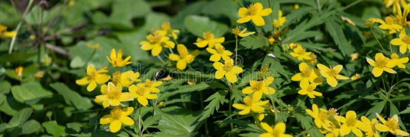 Muitas flores amarelas pequenas na floresta, flores da floresta da mola no fundo das folhas verdes foto de stock royalty free