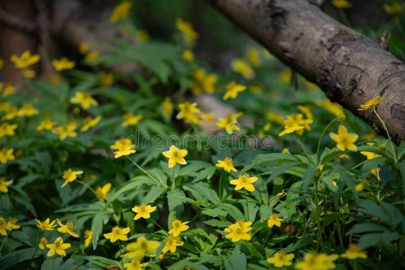 Muitas flores amarelas pequenas na floresta, flores da floresta da mola no fundo das folhas verdes fotos de stock royalty free