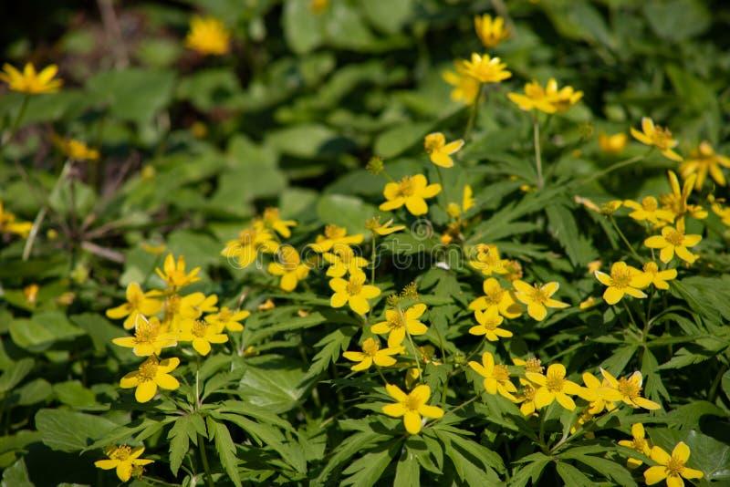 Muitas flores amarelas pequenas na floresta, flores da floresta da mola no fundo das folhas verdes imagens de stock royalty free