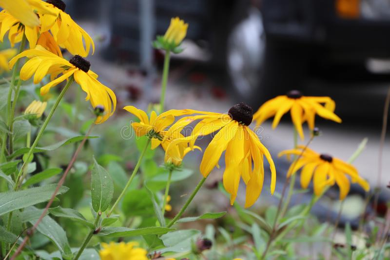 muitas flores bonitas de Susan de olhos pretos imagens de stock royalty free