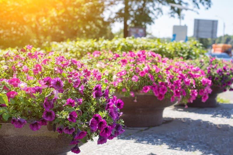 Muitas flores cor-de-rosa brilhantes do surfium imagens de stock royalty free