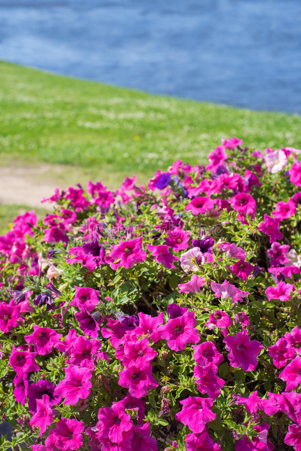 Muitas flores cor-de-rosa brilhantes do surfium fotos de stock royalty free