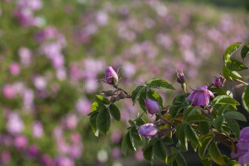 Muitas flores cor-de-rosa das rosas imagens de stock