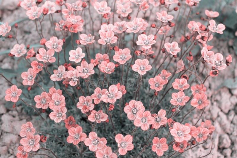 Muitas flores cor-de-rosa pequenas do arendsii da saxífraga, cores pastel fotografia de stock royalty free