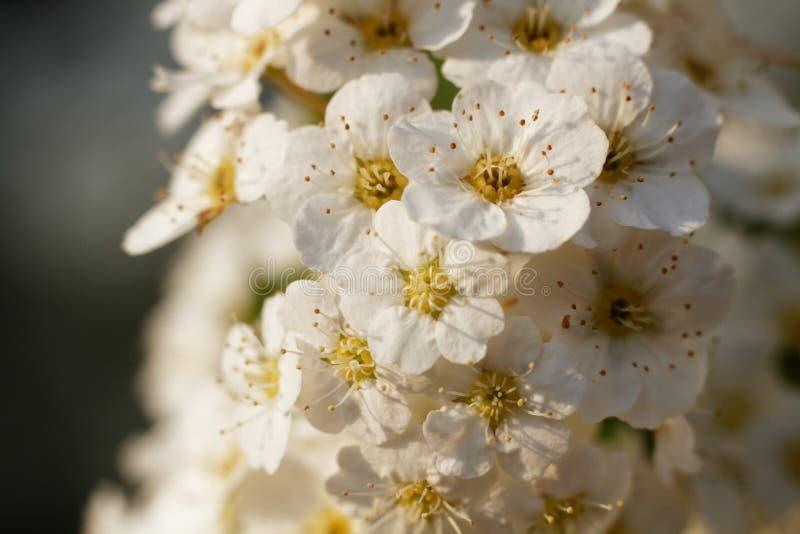 Muitas flores da cereja no macro imagens de stock royalty free