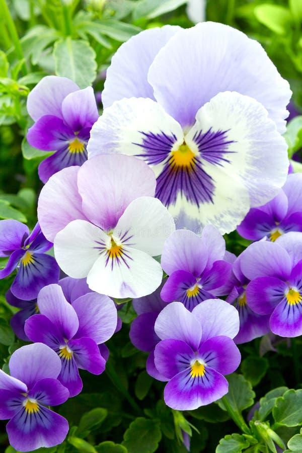 Muitas flores do amor perfeito imagens de stock