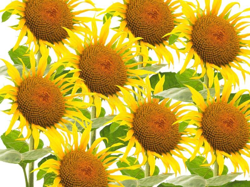 Muitas flores do girassol imagens de stock royalty free