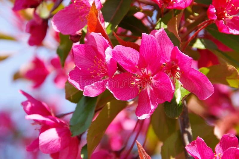 Muitas flores do purpurea do Malus imagem de stock