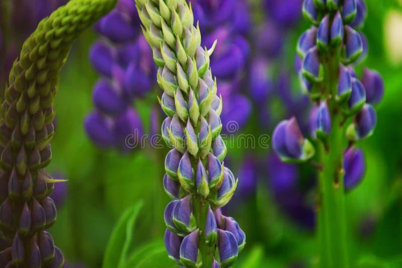 Muitas flores dos tremoceiros no campo Flores altas bonitas no verão fotos de stock