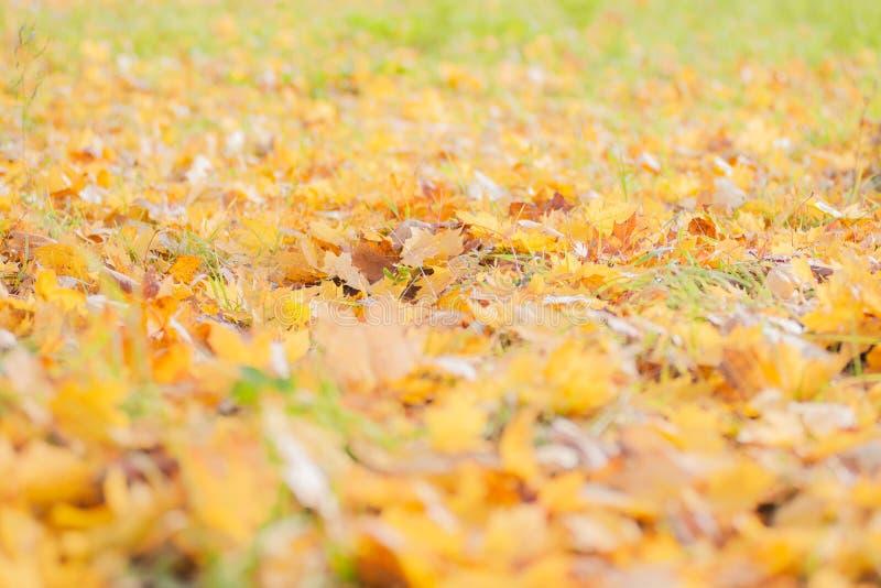 Muitas folhas de bordo caídas encontram-se na grama, estação atrasada do outono As folhas amarelas marrons e luxúrias secas mistu imagens de stock