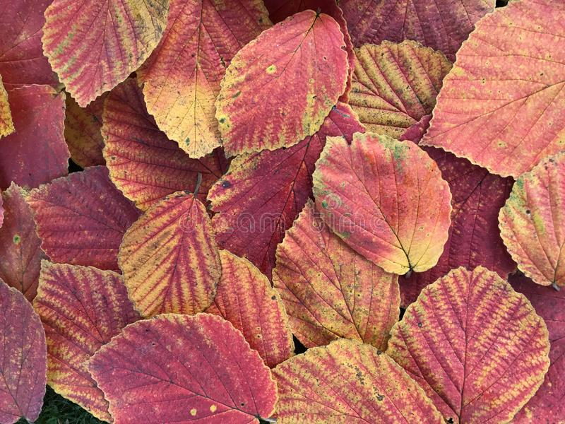 Muitas folhas de outono coloridas foto de stock royalty free
