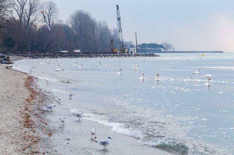 Muitas gaivota e cisnes de mar imagens de stock