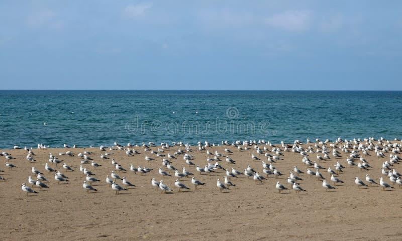 Muitas gaivotas na areia em Southampton, Ontário fotografia de stock