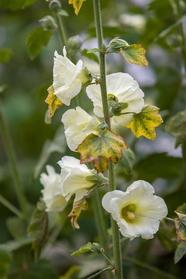 Muitas grandes flores brancas como sinos em uma haste Quadro vertical Foco seletivo imagem de stock
