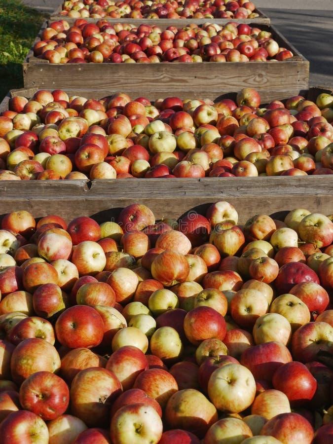 Muitas maçãs em umas caixas de madeira imagem de stock