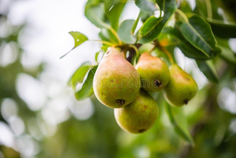 Muitas peras são logo maduras na árvore de pera fotografia de stock royalty free