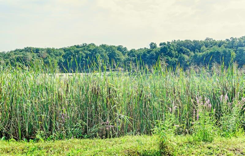 Muitas plantas do Typha no lado de um lago, junco, reedmace, cattail imagens de stock