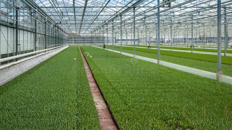 Muitas plantas pequenas da couve verde em uma estufa moderna fotografia de stock royalty free
