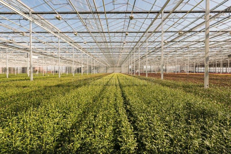 Muitas plantas pequenas do crisântemo em nurs muito grandes de um crisântemo foto de stock
