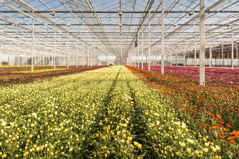 Muitas plantas pequenas do crisântemo em nurs muito grandes de um crisântemo fotografia de stock royalty free