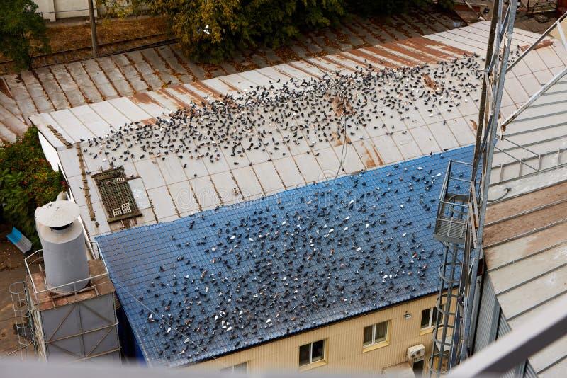 Muitas pombas sentam-se em grandes telhados da construção Lotes dos pombos cagados no telhado Housetop sujo Problemas urbanos da  fotos de stock