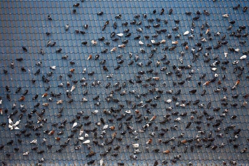 Muitas pombas sentam-se em grandes telhados da construção Lotes dos pombos cagados no telhado Housetop sujo Problemas urbanos da  fotografia de stock