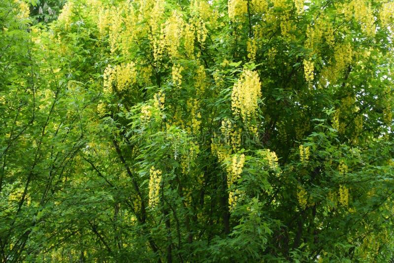 Muitas raças amarelas de Laburnum anagyroides imagem de stock royalty free