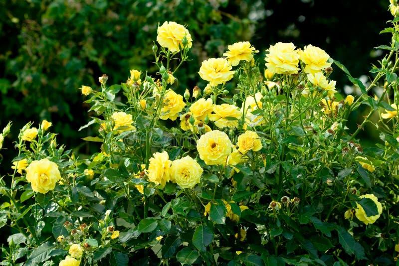 Muitas rosas amarelas foto de stock