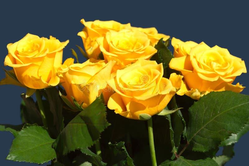 Download Muitas Rosas Amarelas Bonitas Isoladas No Close Up Azul Imagem de Stock - Imagem de folhas, verde: 29848577