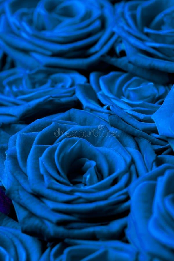 Muitas rosas azuis fotos de stock