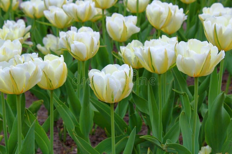 Muitas tulipas brancas no fotos de stock royalty free