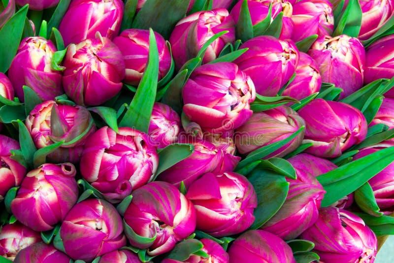 Muitas tulipas do rosa próximas acima do fundo cor-de-rosa floral imagem de stock