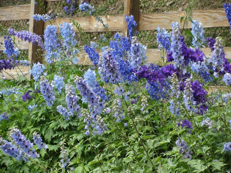 Muito elatum roxo e azul bonito do delfínio das flores, delfínio alpino, espora da vela que floresce no jardim foto de stock