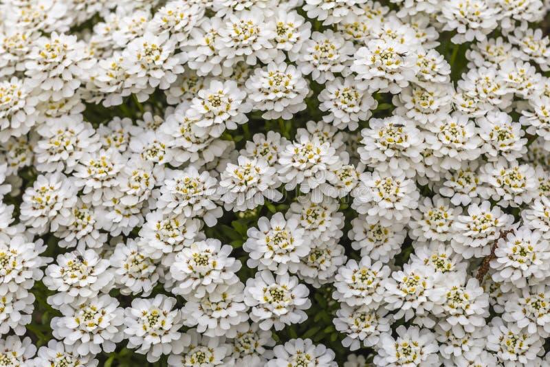 Muito flor branca fotografia de stock
