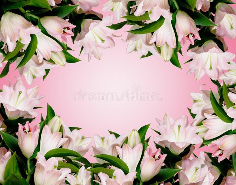 Muito lírio cor-de-rosa foto de stock