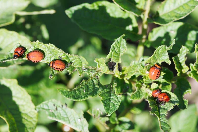 Muito a larva do besouro de batata de Colorado come batatas foto de stock