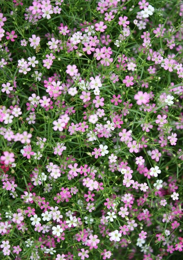 Muito o rosa pequeno do gypsophila floresce o fundo imagens de stock