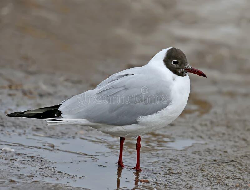 Muito perto acima da foto de uma gaivota de cabeça negra adulta imagem de stock royalty free