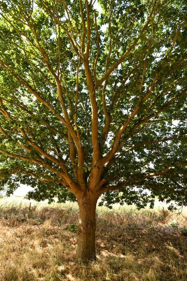Muito quente, seca nos campos abrigo na máscara do carvalho spruce fotografia de stock royalty free