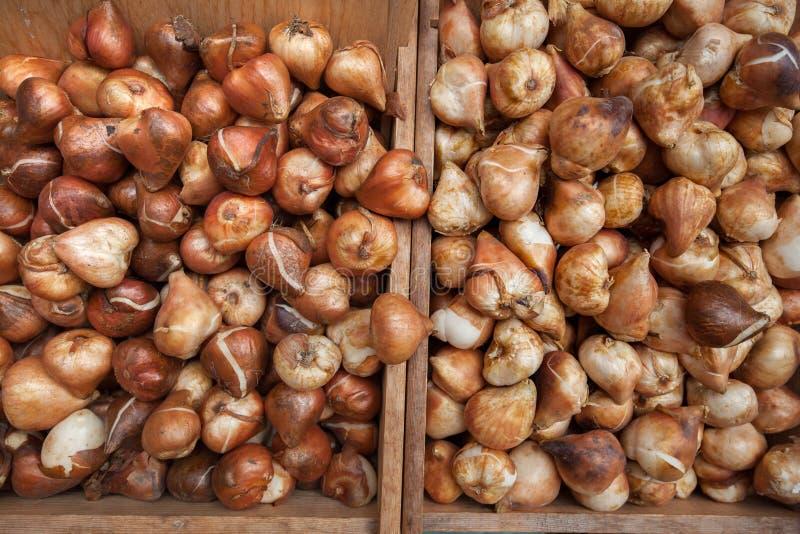 Muito Tulip Bulbs foto de stock