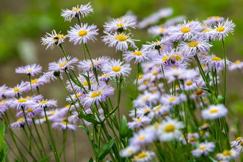 Muito verão branco com os wildflowers roxos da família das flores do áster como margaridas em um fundo verde borrado fotos de stock