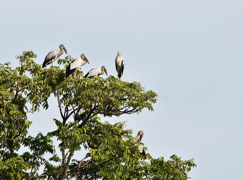 Muitos aberto-faturaram o pássaro da cegonha sobre a árvore sob o céu azul fotos de stock